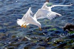 Seagull på en bakgrund av havet Royaltyfri Foto