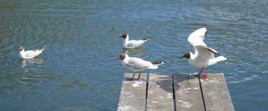 Seagull på en bro som söker efter en fisk Arkivbilder