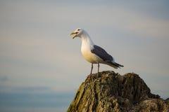 Seagull på en journal Royaltyfri Fotografi