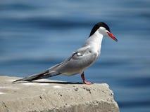 Seagull på en konkret balustrad Royaltyfria Bilder