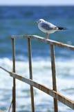 Seagull på en rostig stång Arkivbilder