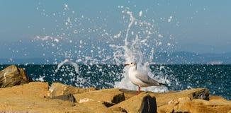 Seagull på en stenig pir Arkivbild