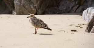 Seagull på en strand Arkivfoto