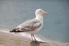 Seagull på en trästång royaltyfri bild