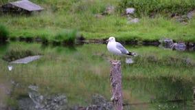 Seagull på en trästolpe i mitt av sjön och grönskan stock video