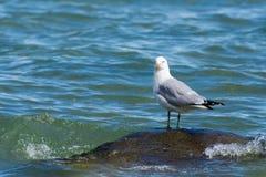 Seagull på en vagga över vatten Arkivfoto