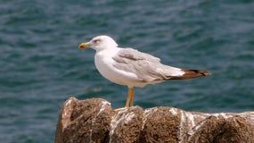 Seagull på en vagga Royaltyfri Bild