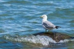 Seagull på en vagga Arkivbilder