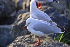 Seagull på en vagga Fotografering för Bildbyråer