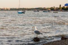 Seagull på en vagga på havskusten Fotografering för Bildbyråer