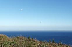 Seagull på Etretat klippor Arkivfoto