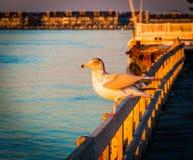 Seagull på ett staket på havstaden, Maryland royaltyfri fotografi