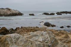 Seagull på ett stenslut upp Fotografering för Bildbyråer