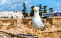 Seagull på fiskeporten av Essaoura, Marocko royaltyfri bild