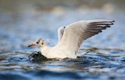 Seagull på floden Arkivfoton