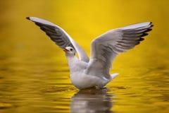 Seagull på floden Arkivbilder