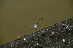 Seagull på floden Tiber royaltyfria foton