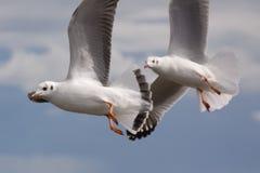 Seagull på flyg Royaltyfria Bilder