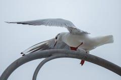 Seagull på gataljus fotografering för bildbyråer