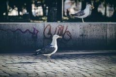 Seagull på gatan arkivbilder