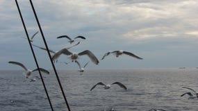 Seagull på havet Royaltyfria Bilder