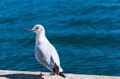 Seagull på havet Arkivbilder