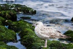 Seagull på havet Royaltyfri Bild