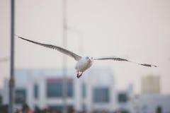 Seagull på himlen Arkivbild
