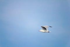 Seagull på himlen Arkivfoto