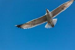 Seagull på himmel Royaltyfri Bild