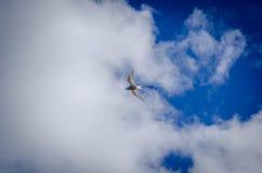 Seagull på Island Westfjords Royaltyfria Foton