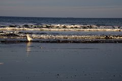 Seagull på Jenness Beach i råg, NH royaltyfri bild