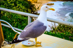 Seagull på kaffetabellen Royaltyfria Foton
