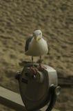 Seagull på kikare Royaltyfri Fotografi