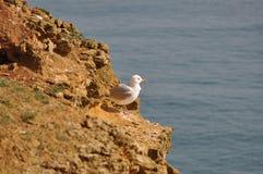 Seagull på klippan Arkivbild