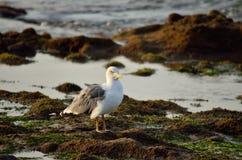 Seagull på kusten Arkivfoto