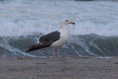 Seagull på kusten fotografering för bildbyråer