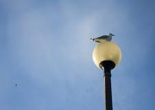Seagull på lampan Arkivfoton