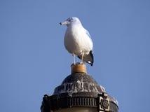 Seagull på lyktan. Fotografering för Bildbyråer