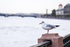 Seagull på nevakajen royaltyfri fotografi