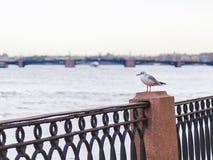 Seagull på nevakajen arkivfoto