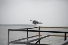 Seagull på pir Arkivbilder