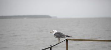 Seagull på pir Royaltyfri Foto