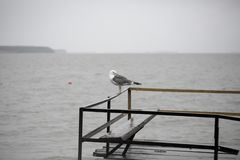 Seagull på pir Arkivfoto
