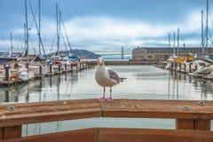 Seagull på pir 39 arkivbild