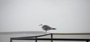 Seagull på pir Royaltyfria Foton