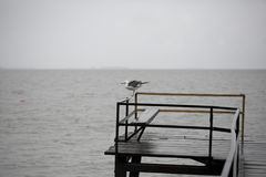 Seagull på pir Arkivfoton
