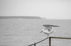Seagull på pir Fotografering för Bildbyråer