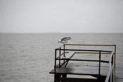 Seagull på pir Royaltyfri Bild