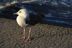 Seagull på pir på solnedgången Fotografering för Bildbyråer